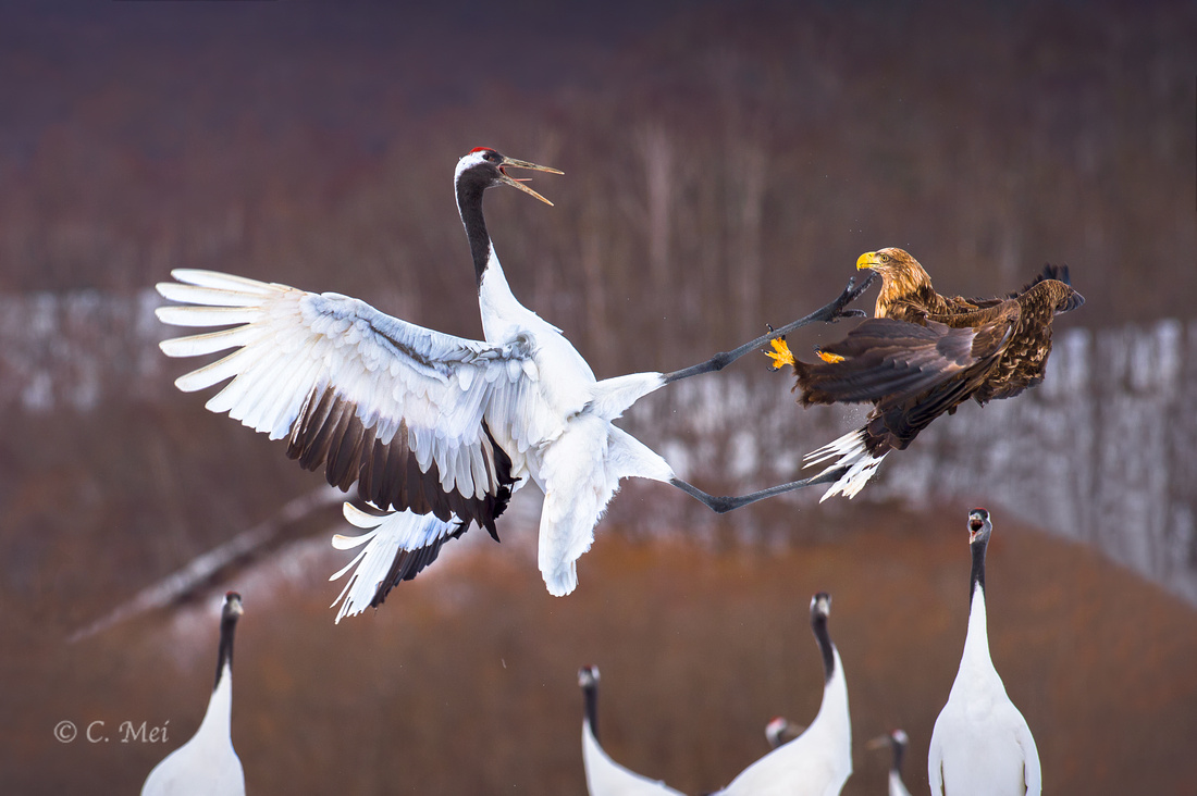 Red-crowned crane fighting against eagle